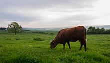 0-vache